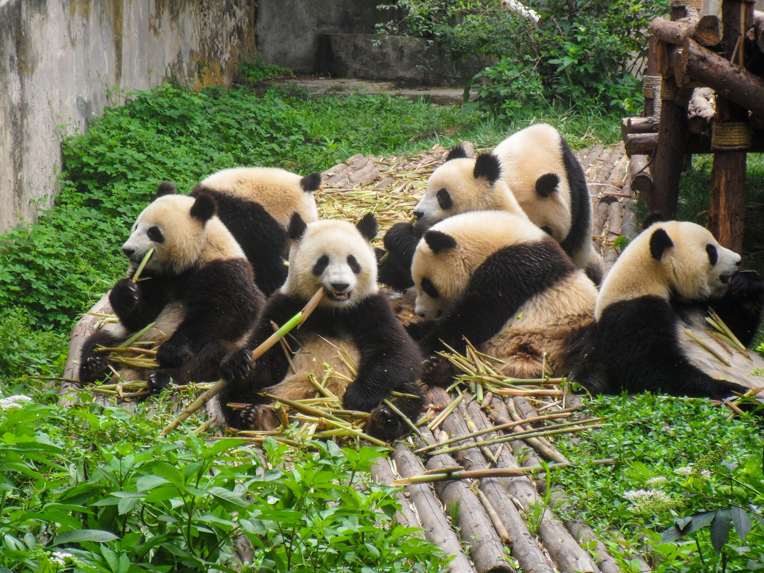 Chengdu pandas in Southwest China. ChinaTEFLer