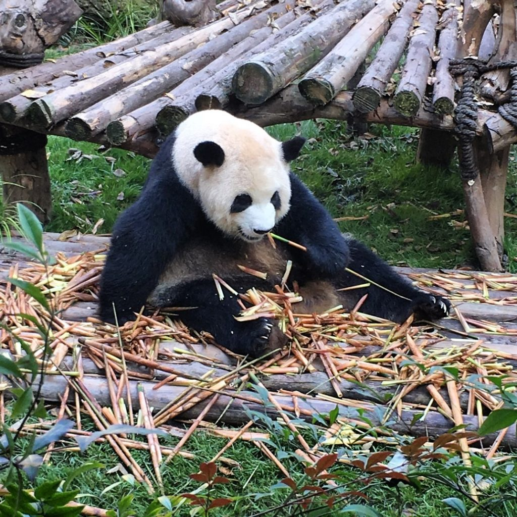 Panda in Chengdu, southwest China