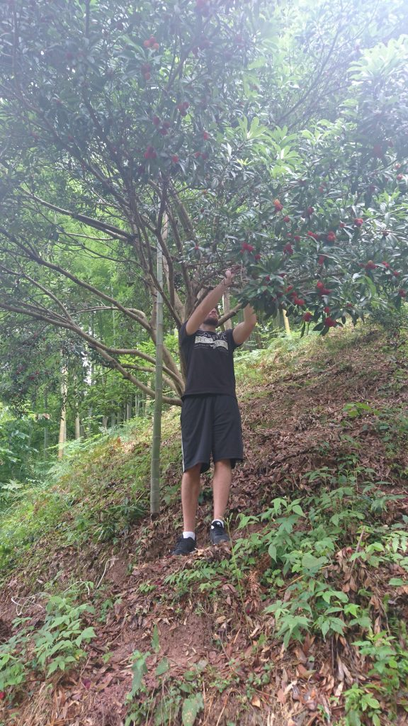 TEFL teacher picking wax berries in Zhejiang